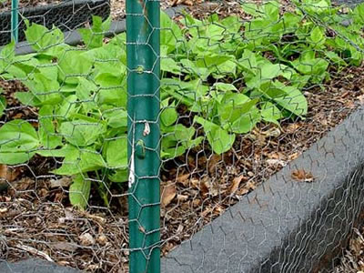 Some green plants are fenced by the chicken wire.