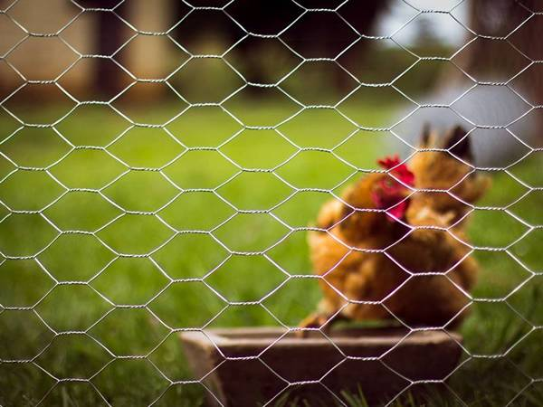 A chicken on the grassland and enclosed by chicken wire poultry netting.