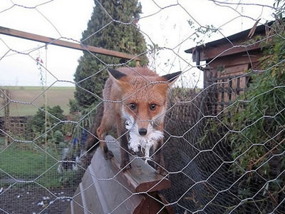 A fox is out of the galvanized chicken mesh which mouse has chicken feather.