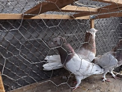 Three pigeons are fenced in galvanized hexagonal chicken wire mesh.