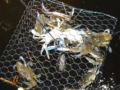 Several blue crab in the hexagonal mesh crab trap.