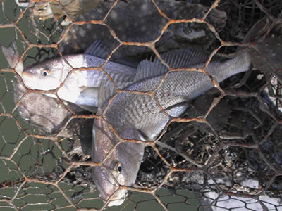 Several fishes in the hexagonal crab trap.