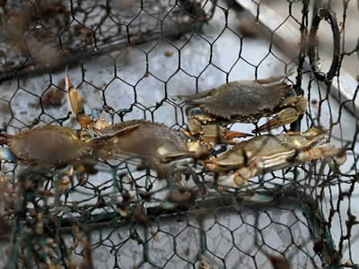 Several crabs in the hexagonal mesh crab trap.