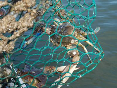 Several crabs in the green color PVC coating hexagonal mesh crab trap.